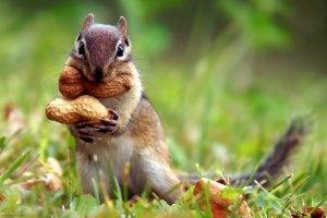 esquilo-amendoins